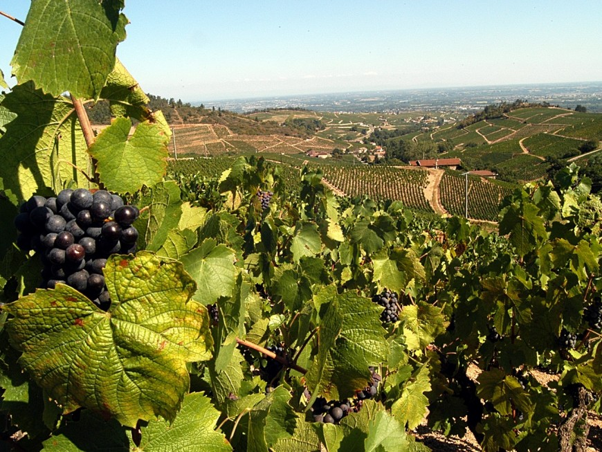 Cru 2018 : les vignes du Beaujolais se portent à merveille