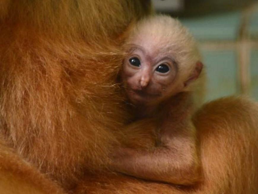 Zoo de Lyon : la famille des gibbons s'est agrandie au parc de la Tête d'Or