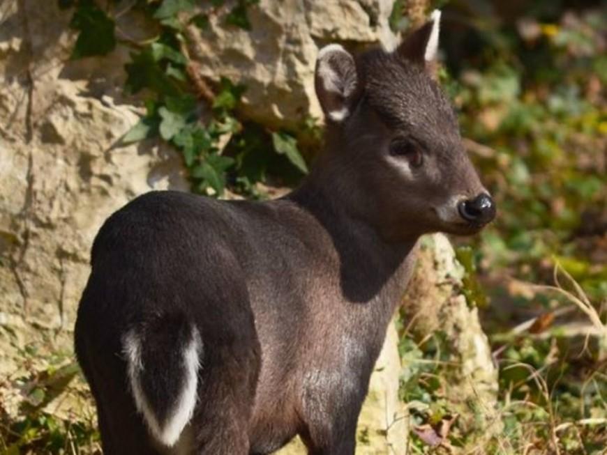 Une nouvelle espèce au zoo de Lyon : le cerf huppé !