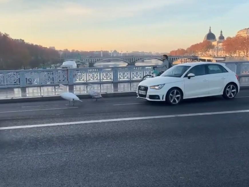 Lyon : la balade matinale de deux cygnes sur le pont Lafayette !