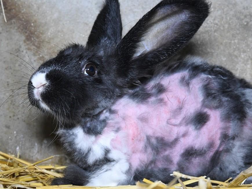 """Lyon : """"happenings"""" ce samedi contre l'épilation à vif des lapins angoras"""
