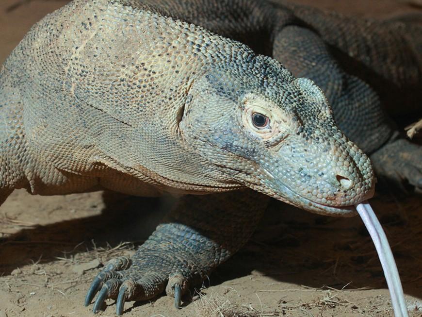 Un dragon de Komodo à Touroparc - VIDEO