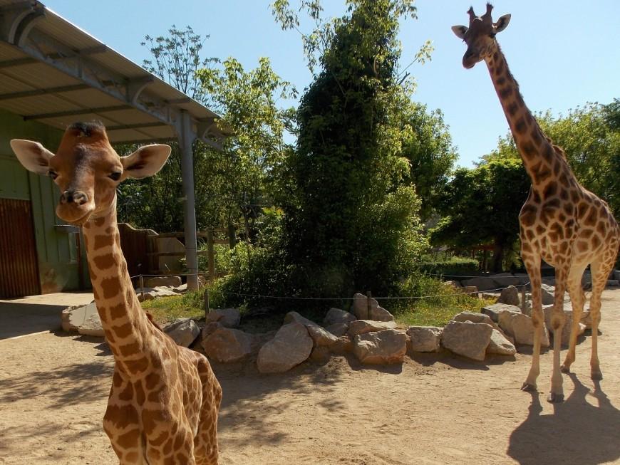 Naissance d'un girafon au zoo de Touroparc