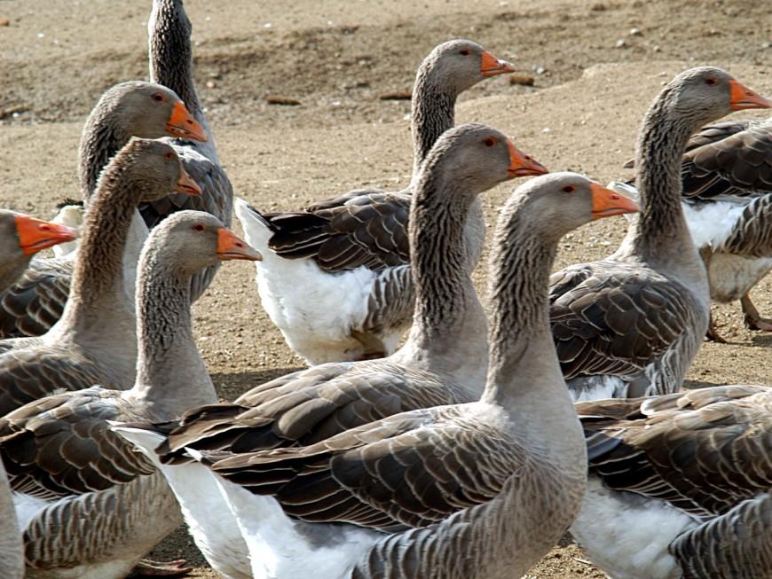 Des oies bientôt abattues dans le Rhône après des suspicions de grippe aviaire