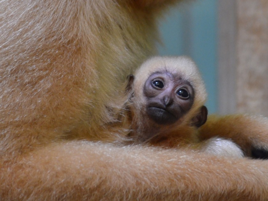 Bébé gibbon du Parc de la Tête d'Or: il s'appelle Nakaï!