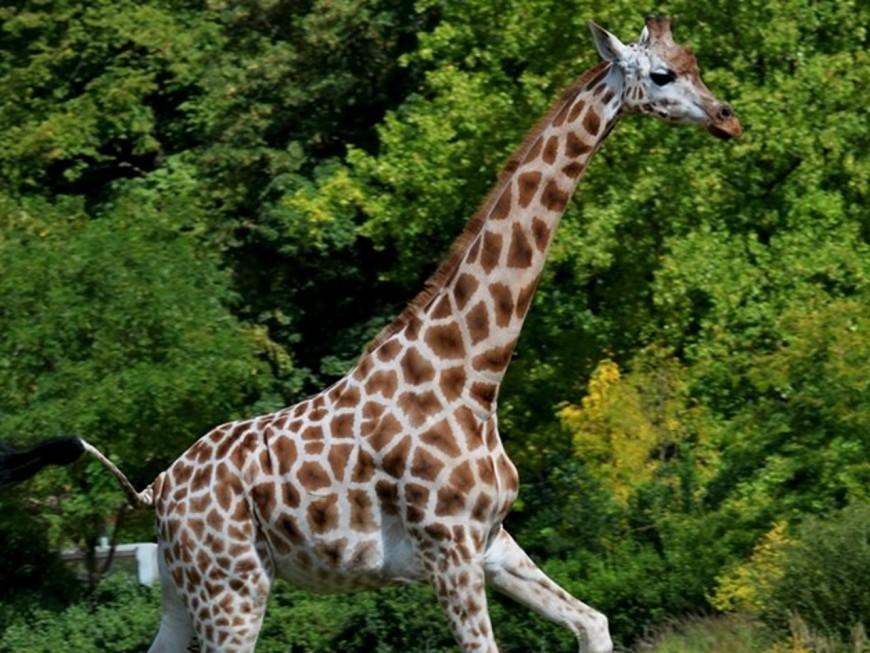 Le zoo du Parc de la Tête d'Or perd sa doyenne des girafes
