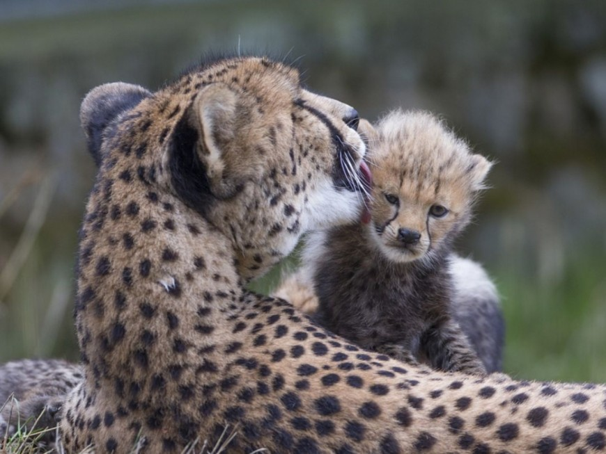 Rhône-Alpes : cinq bébés guépards montrent leur museau à Peaugres