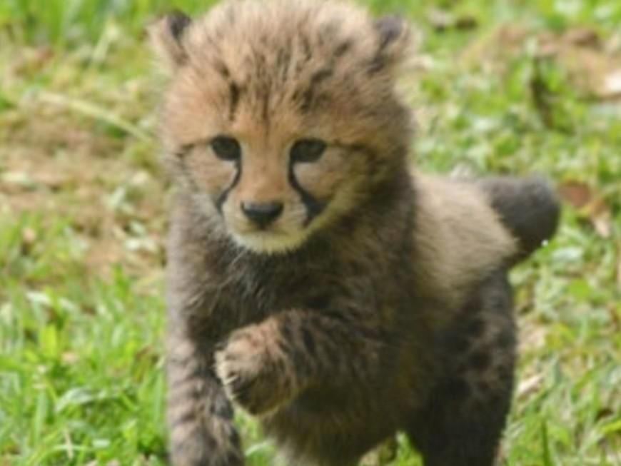 Trois bébés guépards ont sorti leur museau au Safari de Peaugres !