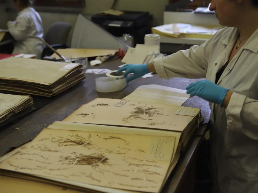 Herbier universitaire de Lyon 1 : la fin de numérisation de la collection Bonaparte