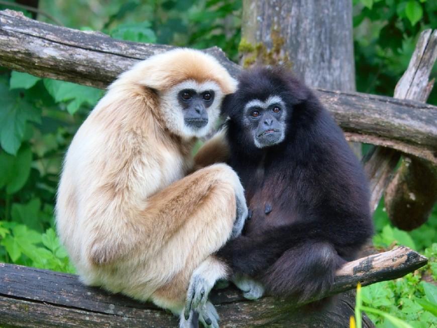 Lyon : le parc de la Tête d'Or accueille un gibbon