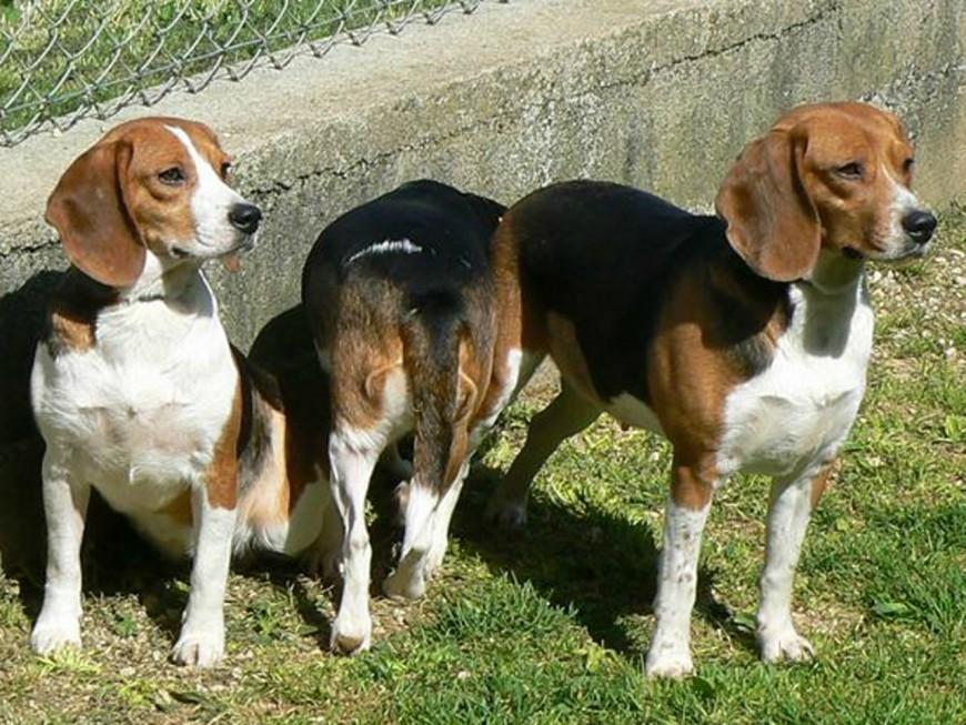 Des chiens réhabilités d'un laboratoire accueillis à la SPA de Lyon