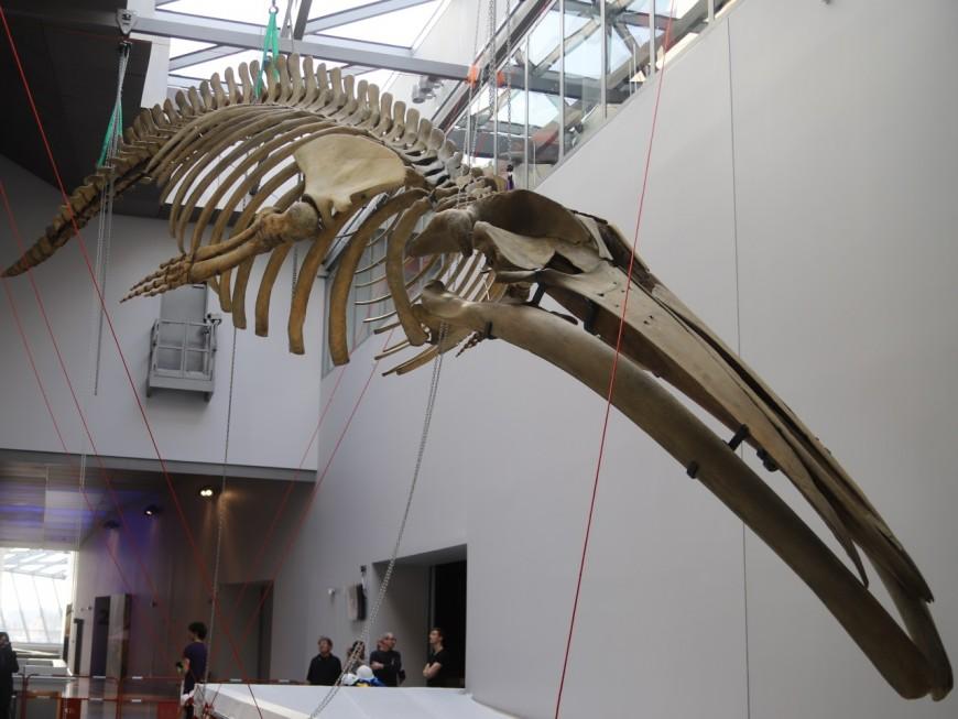 Un squelette de baleine investit le musée des Confluences