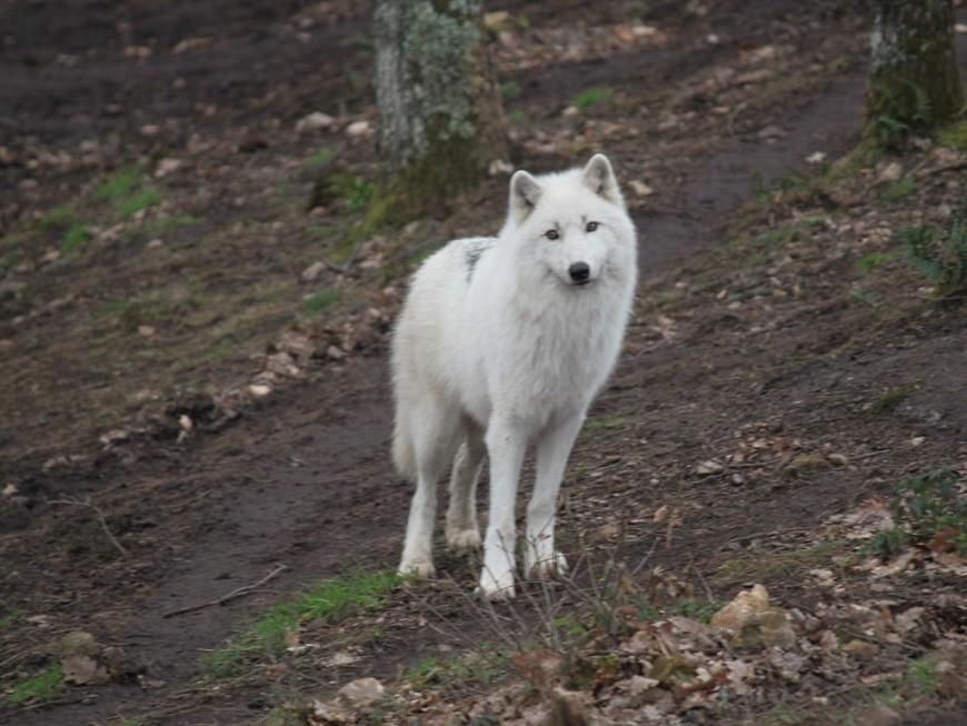 Le parc des loups de Courzieu lance une billetterie solidaire