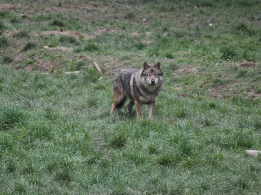 La présence d'un loup détectée à quelques kilomètres du Rhône