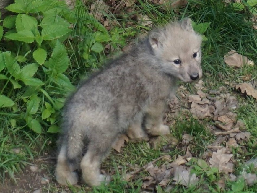 Un louveteau arctique est né au parc de Courzieu !