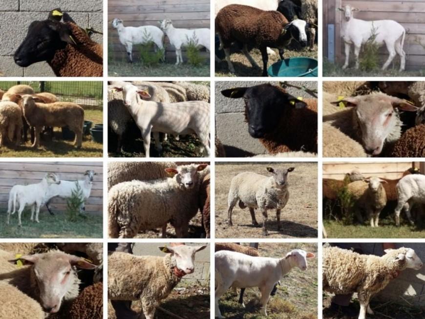 Sauvés par la SPA de Lyon, 16 moutons ont été adoptés !