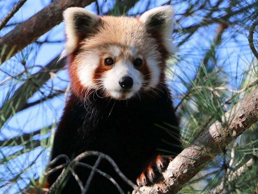 Un panda roux échappé d'un zoo aperçu dans le Rhône