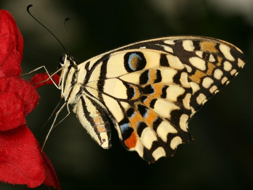 Un lâcher de papillons pour sauver les buis de Villeurbanne