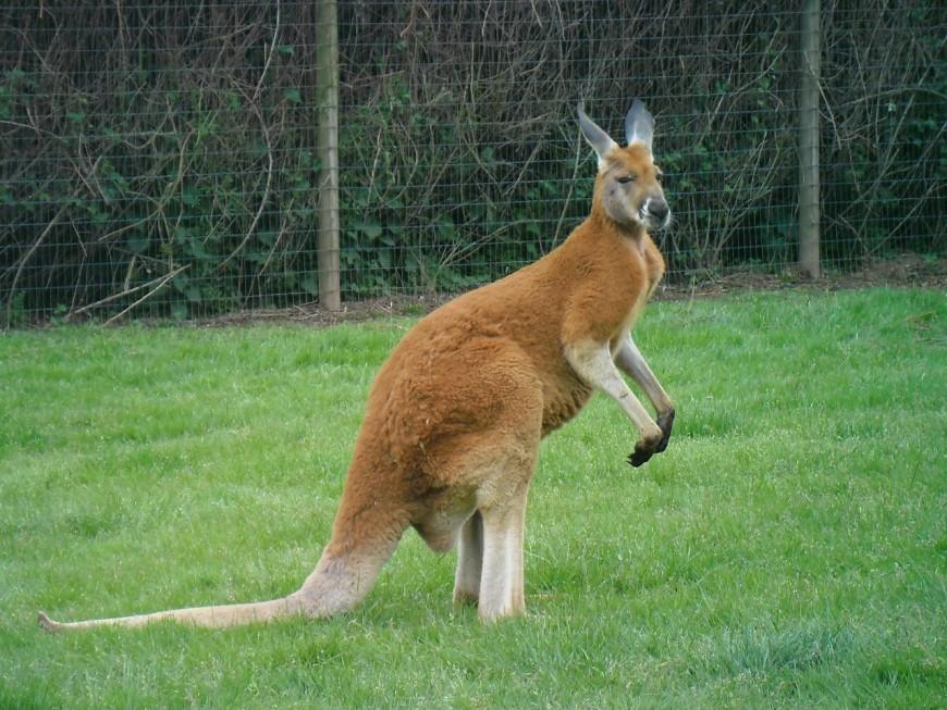 Le marsupial en fuite enfin débusqué, en Isère