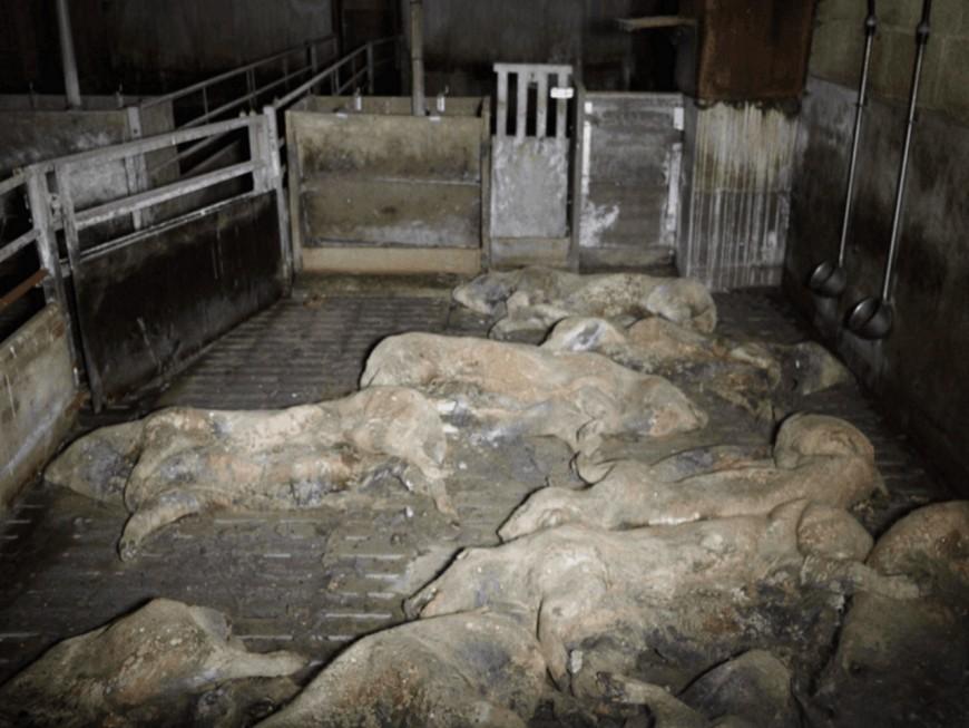 Des images insoutenables de porcs en putréfactiondans la nouvelle vidéo de L214