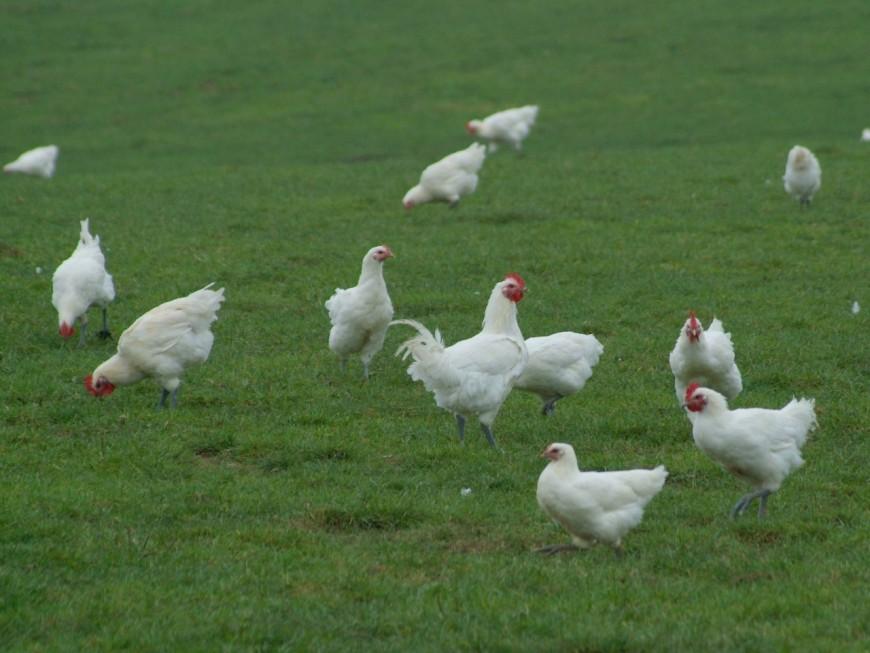 Combat de coqs (et de chefs) autour de la volaille de Bresse