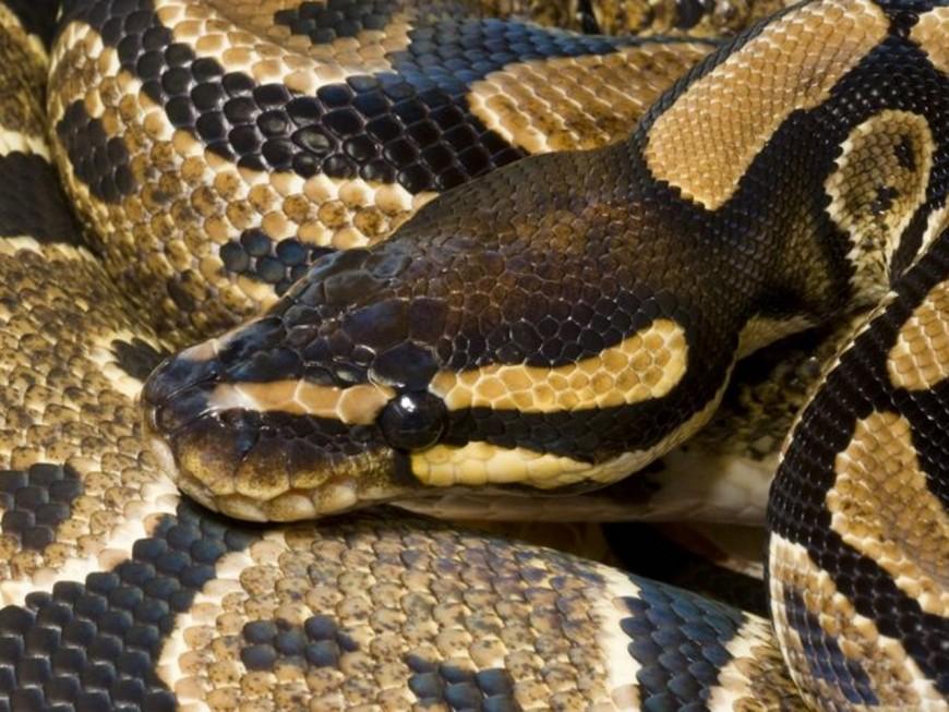 Le propriétaire d'un python royal recherché près de Lyon
