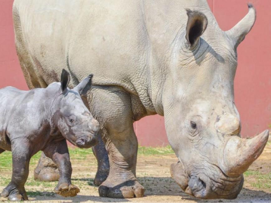 Naissance d'un rhinocéros blanc au safari de Peaugres