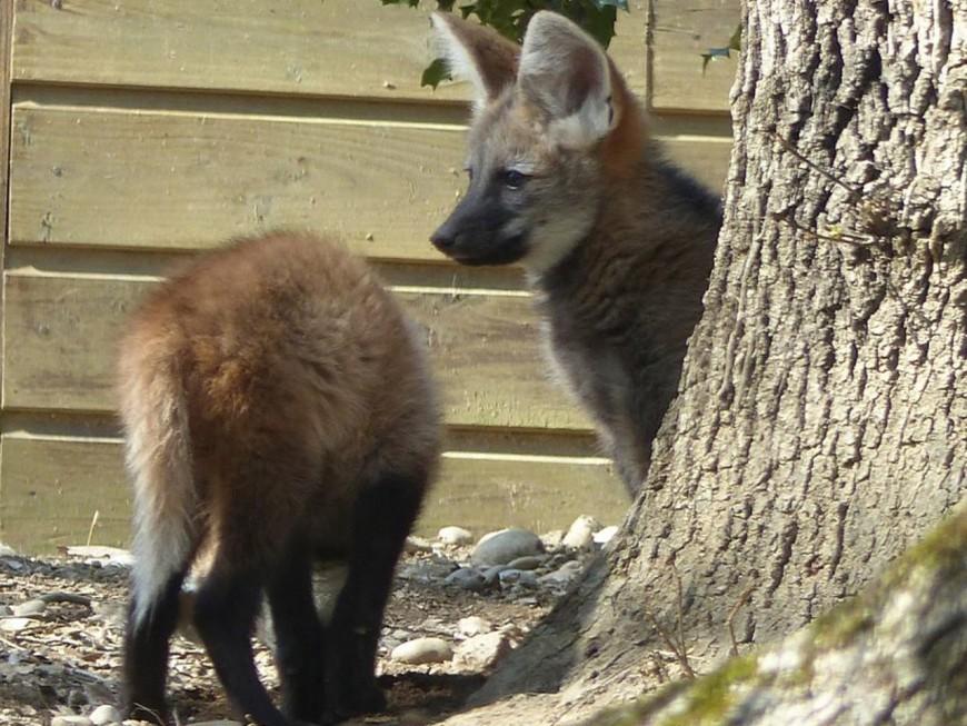 Safari de Peaugres : de nouveaux bébés sont nés!
