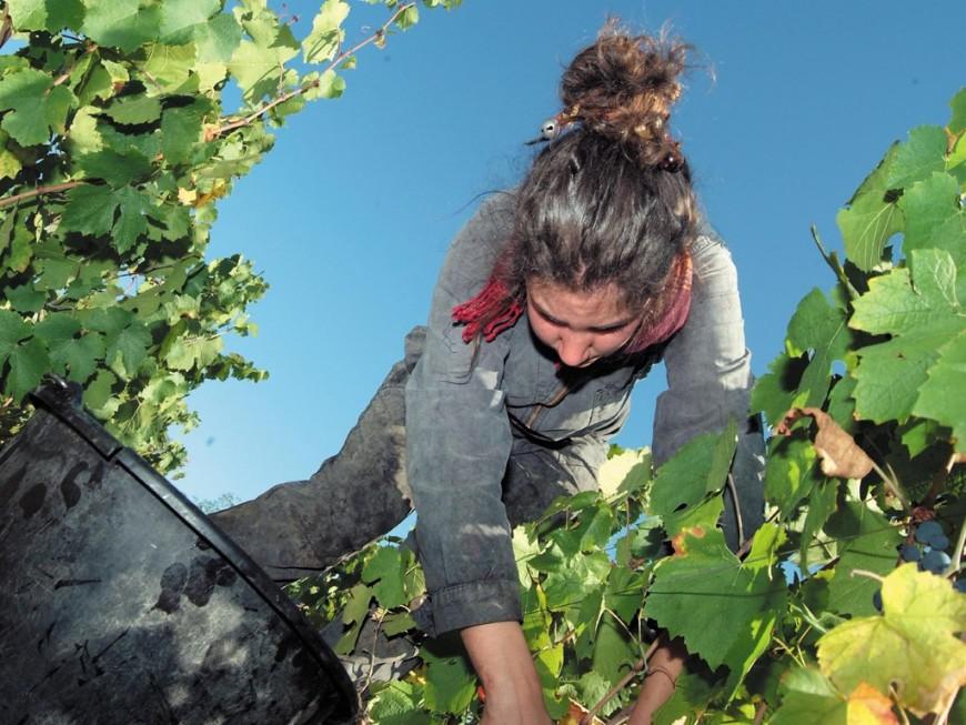 Vendanges: 30 000 postes à pourvoir dans le bassin du Beaujolais