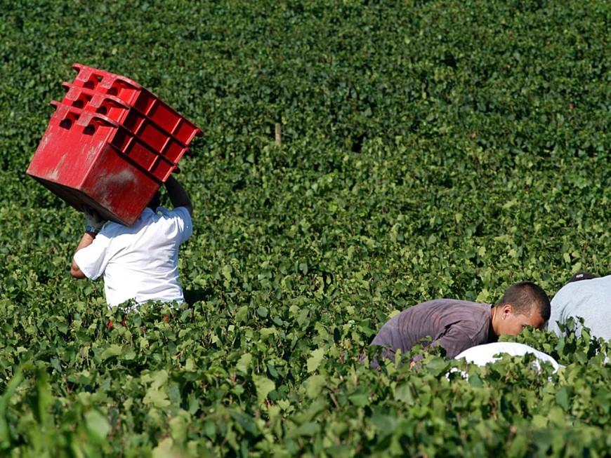 Une récolte 30% inférieure à celle de 2018 pour l'appellation beaujolais
