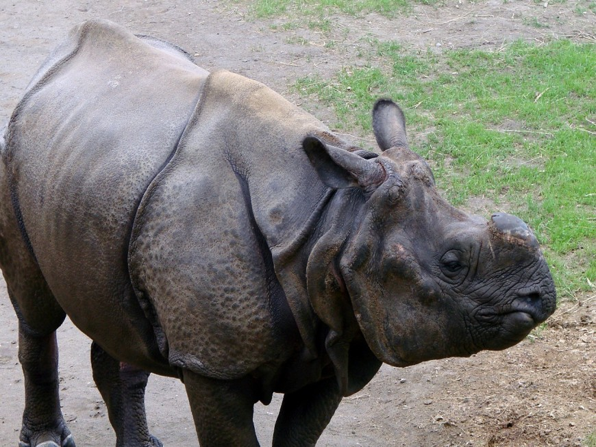 Touroparc accueille une femelle rhinocéros indien