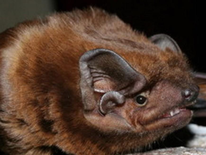 Une espèce rare de chauve-souris découverte dans le Rhône