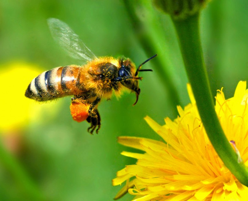 Des abeilles dans Lyon