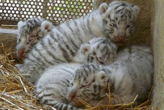 Touroparc cherche des prénoms pour ses bébés tigres blancs