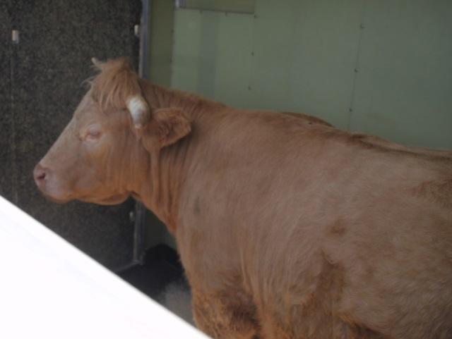 La vache rebelle de Dommartin a pris la direction du Loir-et-Cher