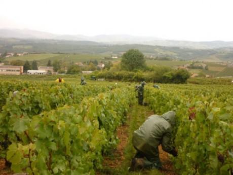 Un vigneron bio du Beaujolais devant la justice pour avoir refusé de traiter ses vignes