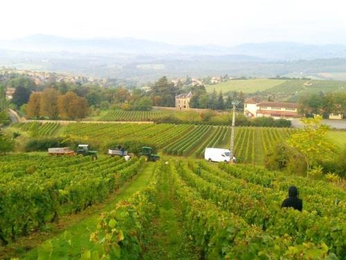 Beaujolais : les voyants au vert pour les vignes malgé la chaleur