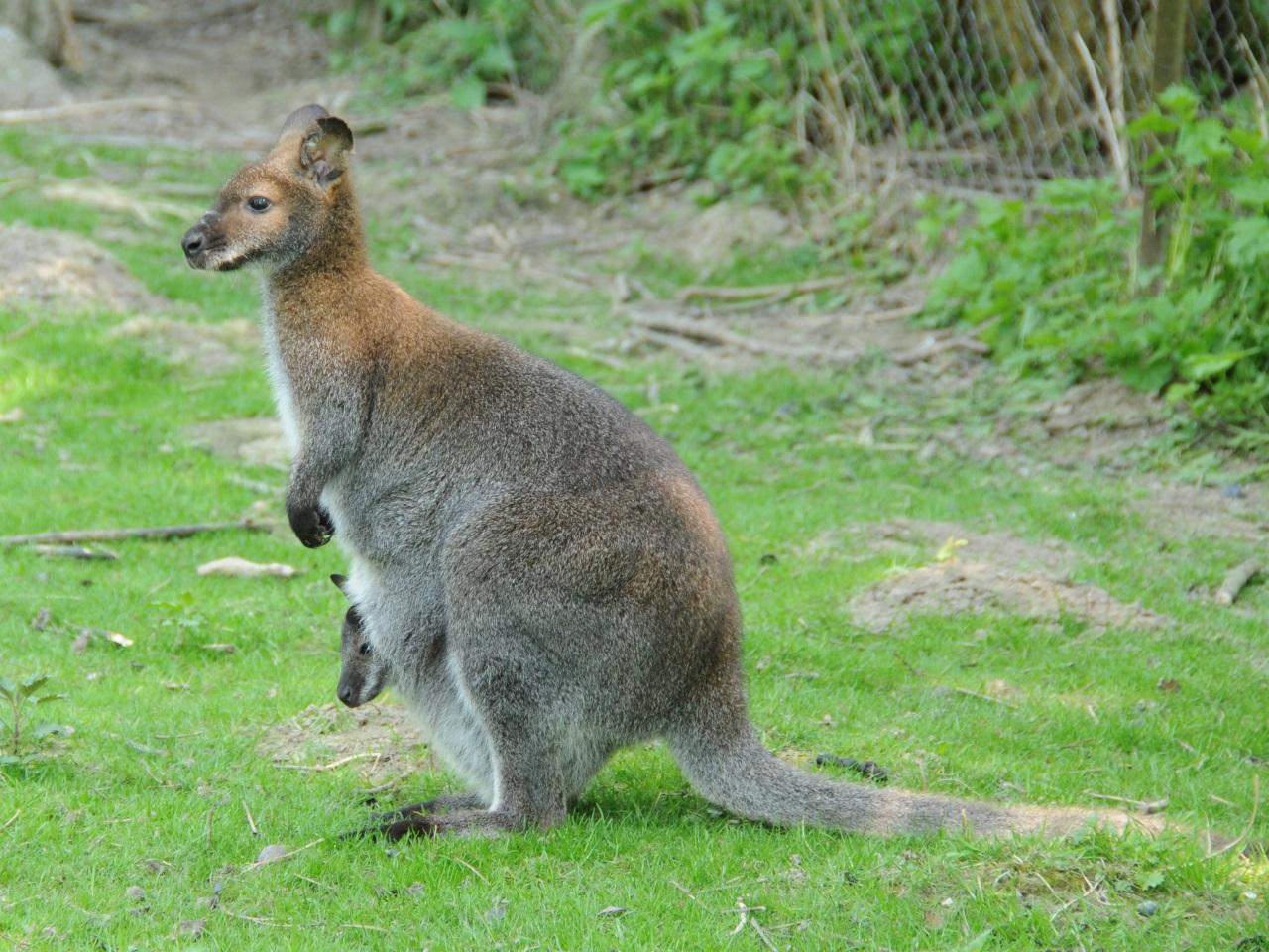 Un wallaby s'est échappé de l'espace zoologique de Saint-Martin-la-Plaine