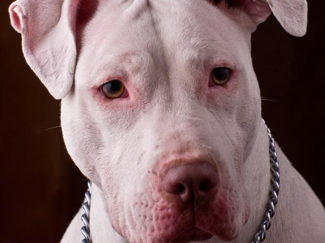 Lyon : le pitbull sauve une grand-mère victime d'un malaise