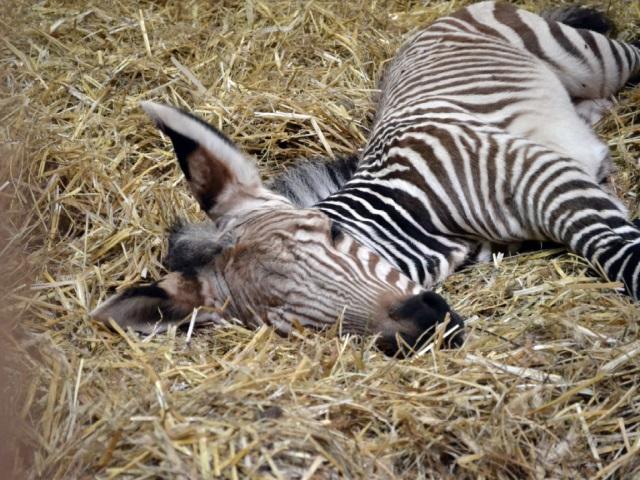 Lyon : un zébron voit le jour au zoo du Parc de la Tête d'Or